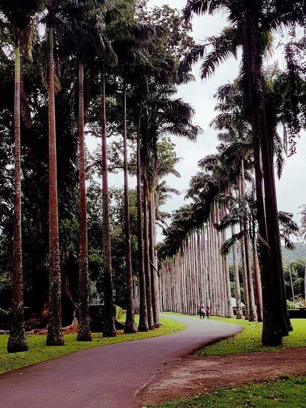 pálmafa sor peradeniya botanikus kert
