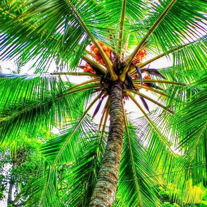 pálmafa sri lanka