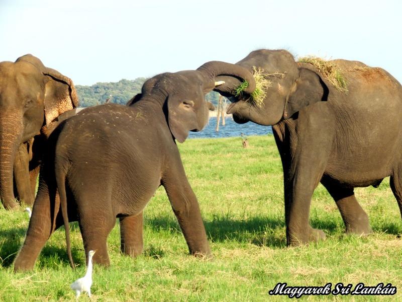 elefánt sri lanka minneriya