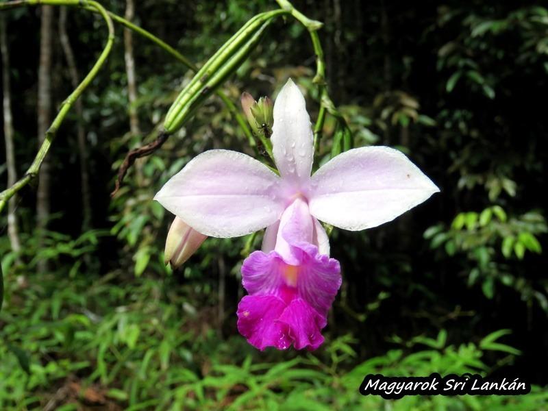 orchidea sri lanka