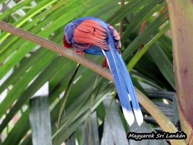 papagáj sri lanka