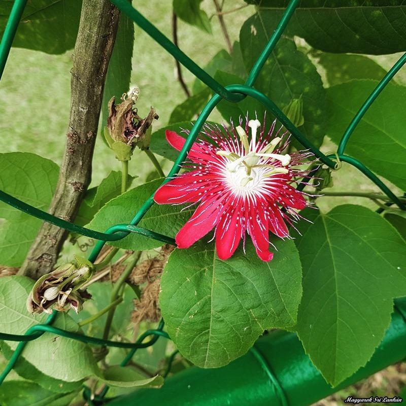 passió gyümölcs virág