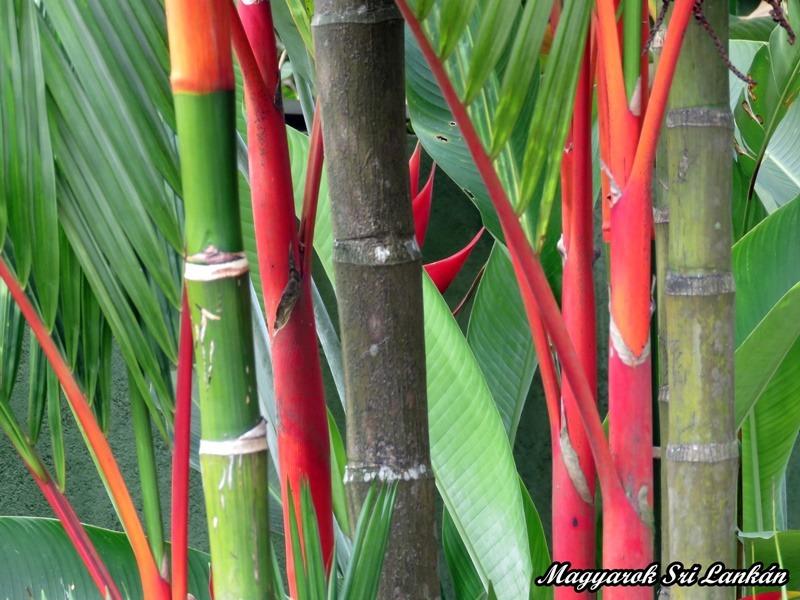 vörös pálma sri lanka