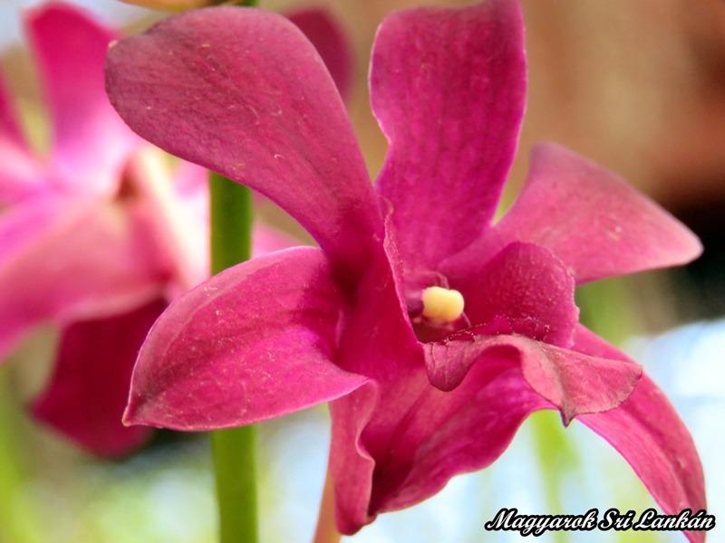 mályva orchidea sri lanka