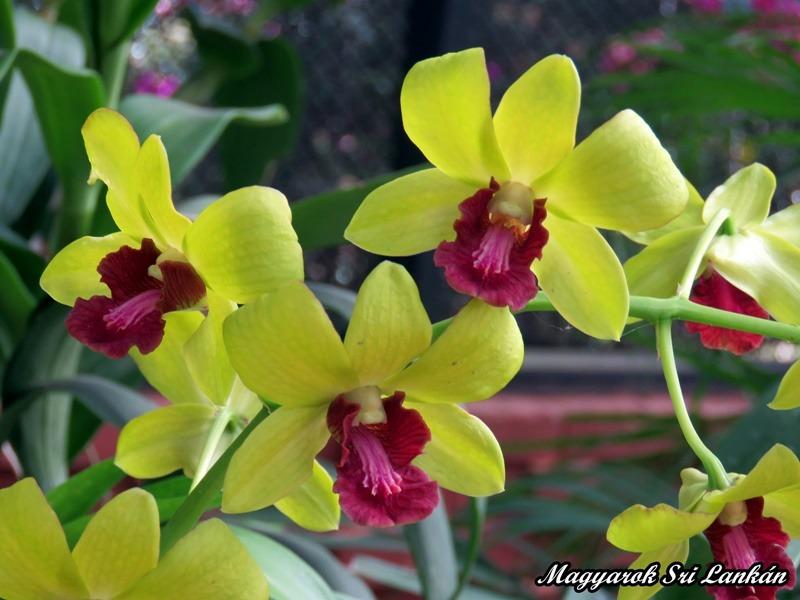 sárga orchidea sri lanka