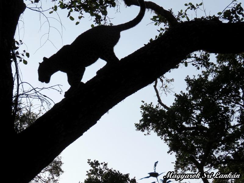 leopárd sri lanka
