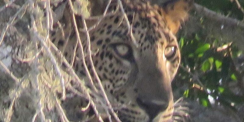 yala nemzeti park sri lanka leopárd