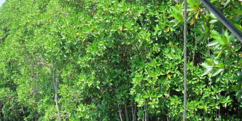 sri lanka mangrove